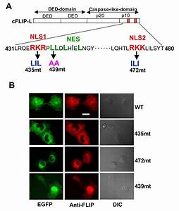 Modulation Of Wnt Signaling By The Nuclear Localization Of
