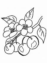 Coloring Cherry Pages Fruits Printable sketch template