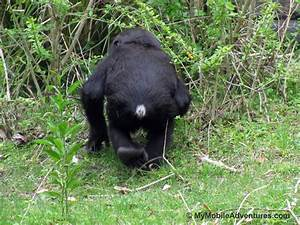 Free Images Baby Img 5325 Wdw Dak Baby Gorilla Look I Has A