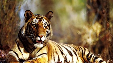 Animal Wallpaper For Desktop Size - tiger photo wallpaper high resolution wallpaper size
