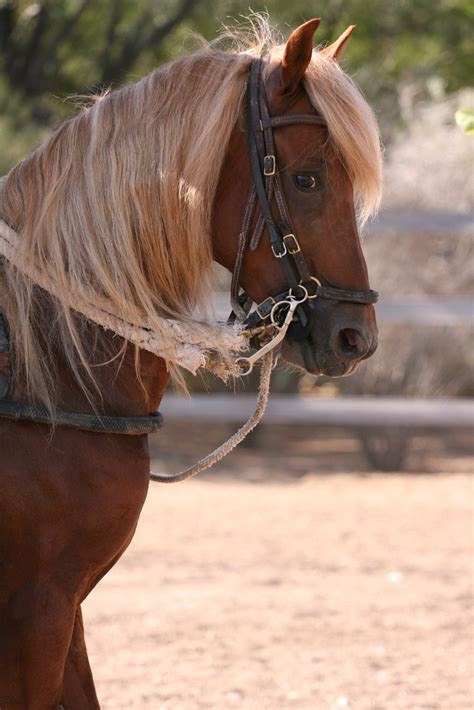 how are horses paso fino horse