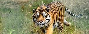 Latest News... | Save Wild Tigers