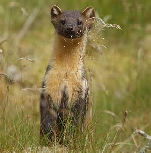 Pine marten spotted in Shropshire, England for first time ...