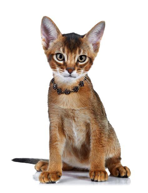 Cats Breeders by Abyssinian Breeders Australia Abyssinian Info Kittens