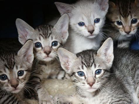 serengeti cat info temperament care training pictures