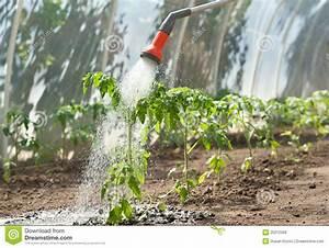 Arrosage Des Tomates : tomate de arrosage de plante photo stock image du ~ Carolinahurricanesstore.com Idées de Décoration
