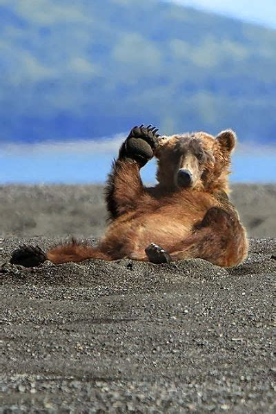 funny grizzly bear salutes luvbat