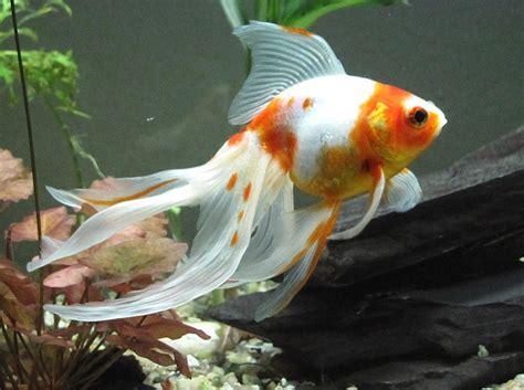 goldfish lovers goldfish types