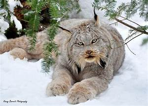 """Canada Lynx"" by Nancy Barrett Redbubble"