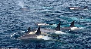 Amazing photos of the moment pod of killer whales hunts ...