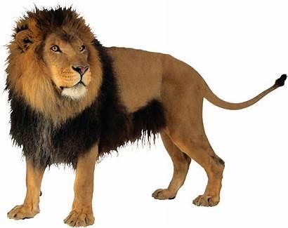 Lion Pngimg