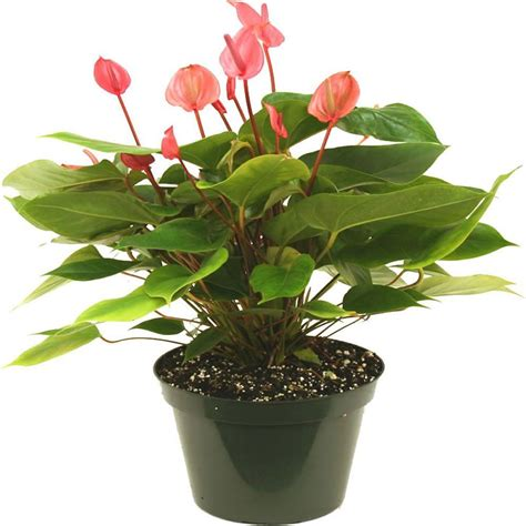delray plants anthurium in 8 in azalea pot 10antred the home depot