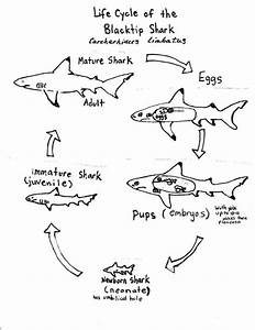 Whale Shark Life Cycle Diagram