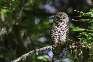 A Win Win For Spotted Owls And Forest Management Uc Davis