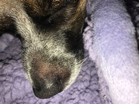Hard Bump On Dogs Nose
