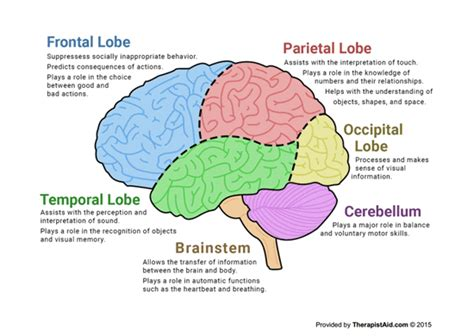 human brain diagram worksheet  images human