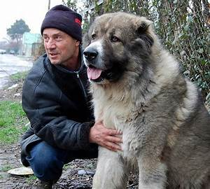My Georgia: Caucasian Shepherd Dog (kavkasiuri nagazi ...