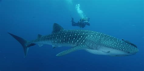 Dive With Whale Sharks Whale Shark Sighting In Costa Rica Scuba Diving With