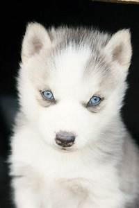 Baby Husky Super cute | polar trian | Pinterest