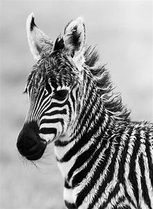 360 best Black and White and Zebras ... images on ...