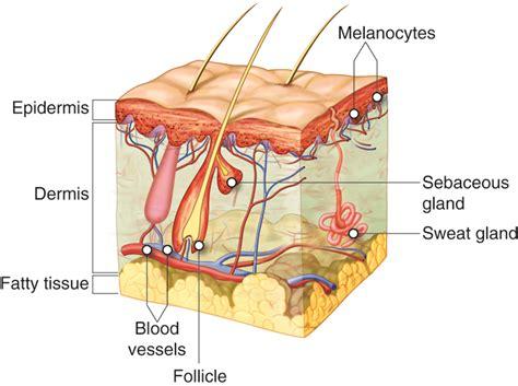 Integumentary System Major Organs