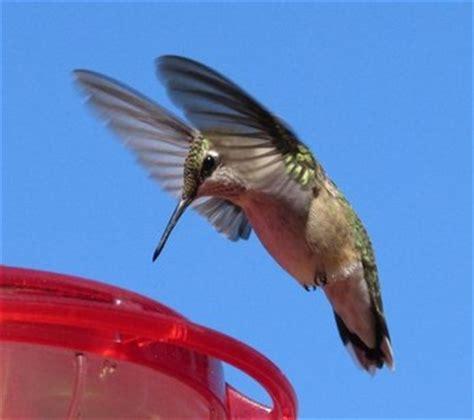 tracking hummingbirds  orioles burlington garden center