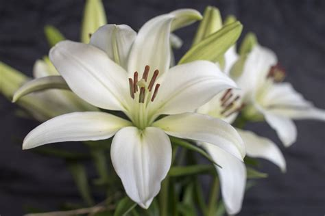 interesting facts about lilies