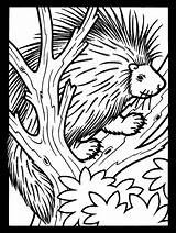 Coloring Porcupine Pages Tree Animals Animal Printable Porcupines Colouring Cute Clipart Supercoloring Atozkidsstuff Coloringpagebook Wildlife Advertisement Crested American Categories sketch template