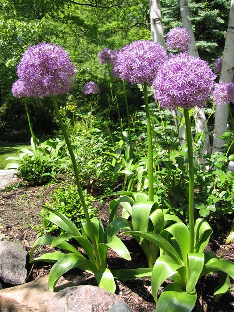 arbor gardener alliums part deux