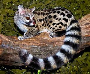 Cannundrums: Large-Spotted Genet