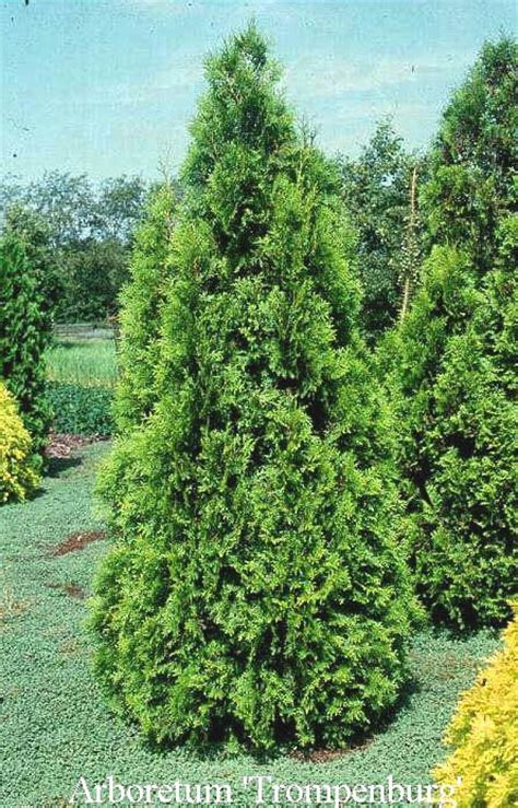 thuja occidentalis brabant 17 best images about evergreen shrubs for background and screens on taxus baccata