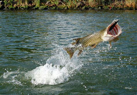 faszination hecht fisch fang