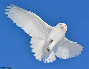 Snowy Owl - Behavior | Birds of North America Online