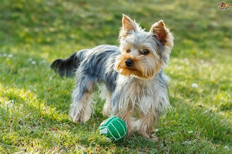 yorkshire terrier dog breed information buying advice