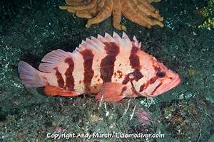 Pictures of Tiger Rockfish - Sebastes nigrocinctus