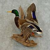 Drake Mallard Duck   1000 x 1000 jpeg 391kB