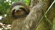 Three-toed Sloth: The Slowest Mammal On Earth | Nature on ...
