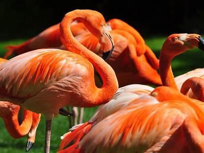 Flamingo Wildlife Wallpapers Orange Computer Bird Wallpapers13