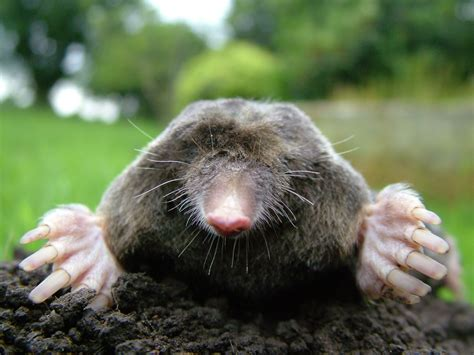 Dangerous Of Wild Animals Mole
