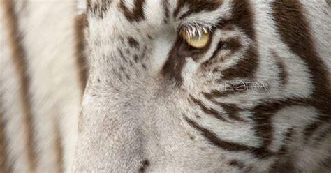White Tigress Isfaaq Caunhye Animals Pinterest