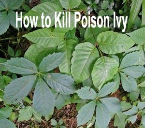 how to kill poison oak posion ivy identification pictures of poison ivy