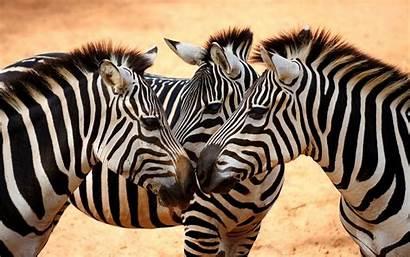 Zebra Wallpapers Computer Desktop Backgrounds
