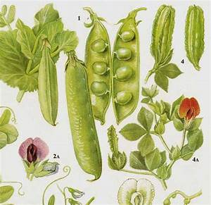 Garden Peas & Lentils Flowering Legumes Food Chart Vegetable
