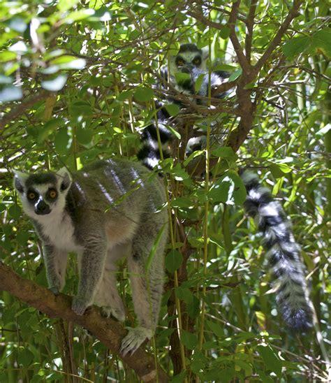 lemur tailed ring zoo lemurs park weblog pico