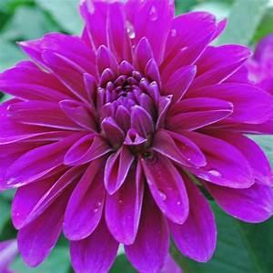 Dahlia 'Le Baron' - Rose Cottage Plants