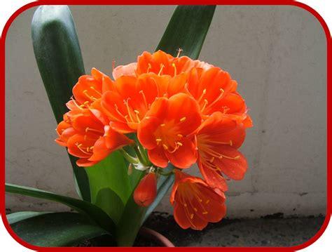 pianta fiori arancioni clivia consigli coltivazione e cura
