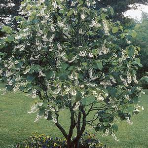 best shrubs for small gardens fragrant snowbell is a small slender upright tree with ascending branches and
