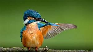 Kingfisher | San Diego Zoo Animals & Plants  Kingfisher