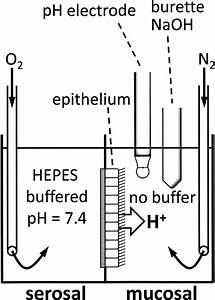 Orientation of epithelium, pH electrode, and titrator b ...