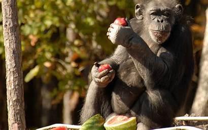 Monkey Eating Apples Animals Animal Consumo Frutas